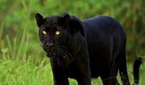 بالفيديو.. نمر أسود يهاجم رأس رجل حاول اللعب معه داخل قفص