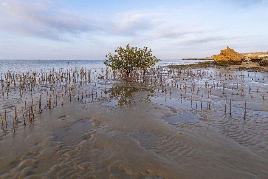 أشجار المانجروف في تبوك.. شريان حياة للكائنات البحرية