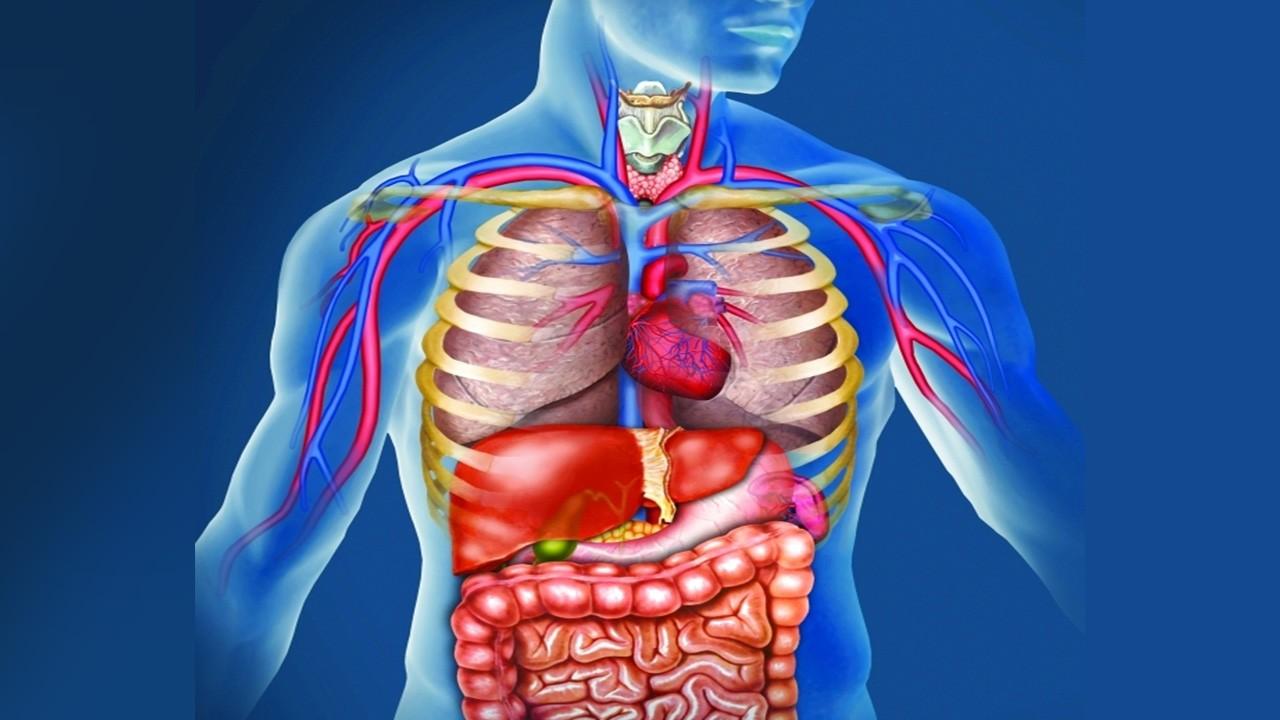 عدد الأعضاء في جسم الإنسان