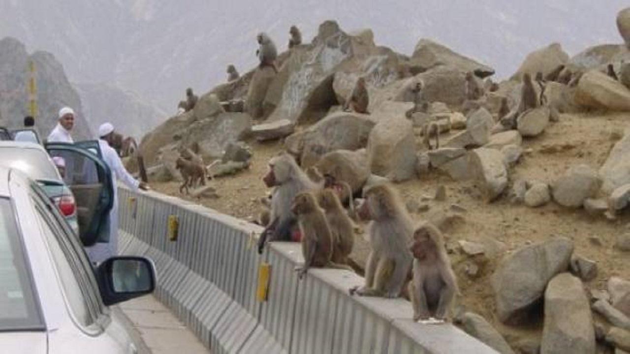 اتخاذ إجراءات لعلاج مشكلة انتشار القرود بالطرق السريعة