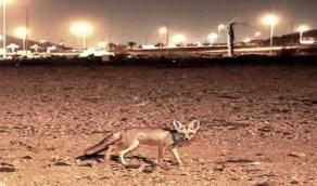 الثعالب تنتشر في مكة والحياة الفطرية توضح السبب