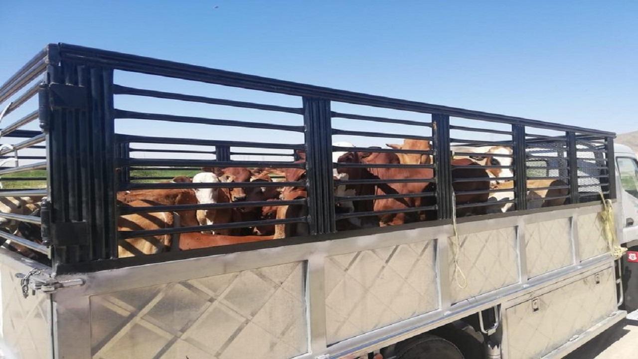 مصادرة 55 رأس أبقار سائبة في جنوب مكة