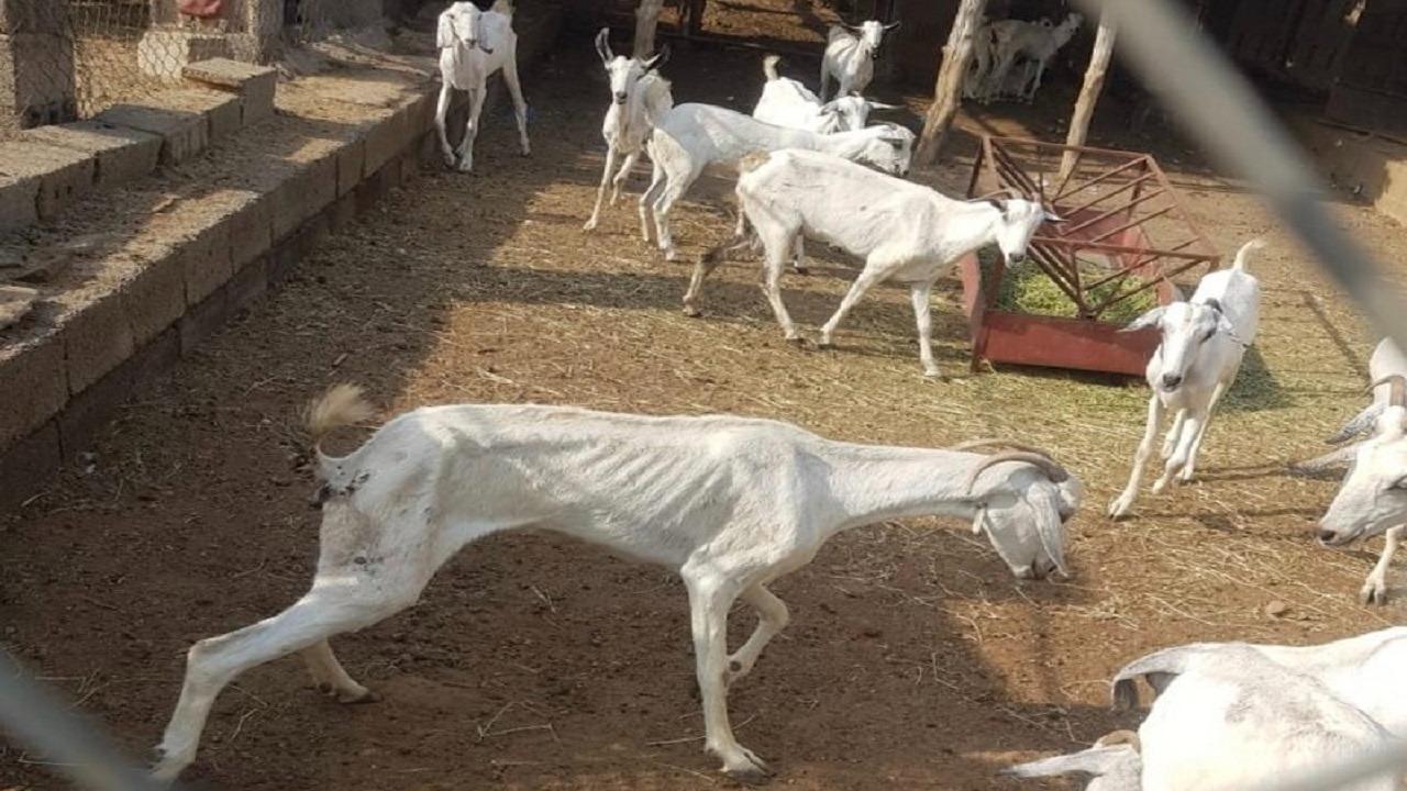 مرض غريب يداهم ماشية ومخاوف من انتشار العدوى بجازان