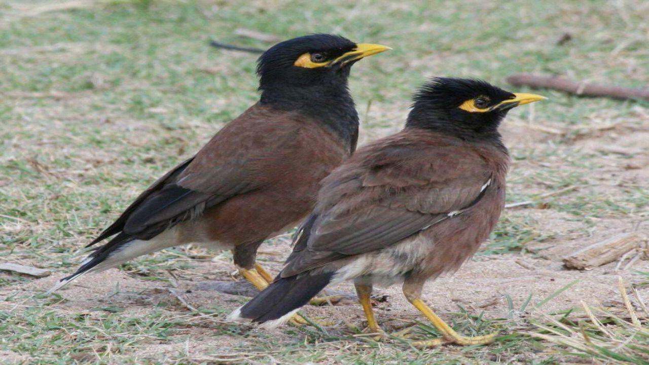 طائر المينا الهندي يغزو مزارع نجران ويهدد الطيور المحلية