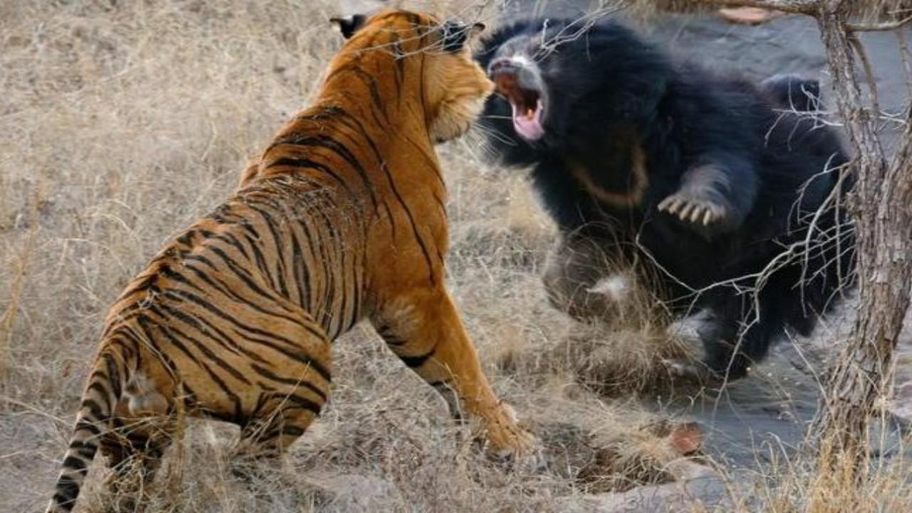 شاهد.. معركة عنيفة بين نمر ودب تستمر لمدة 30 دقيقة