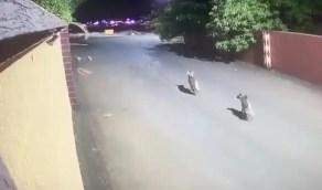 بالفيديو.. ضباع تتجول في أحد أحياء غرب نجران