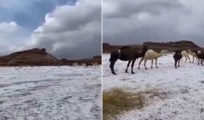 بالفيديو .. حبات البرد تكسو الأرض في غرب القصيم