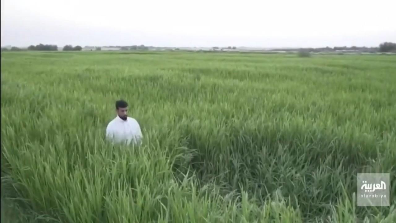 بالفيديو.. شاب يترك وظيفته ويتفرغ لزراعة الأرز بالأحساء