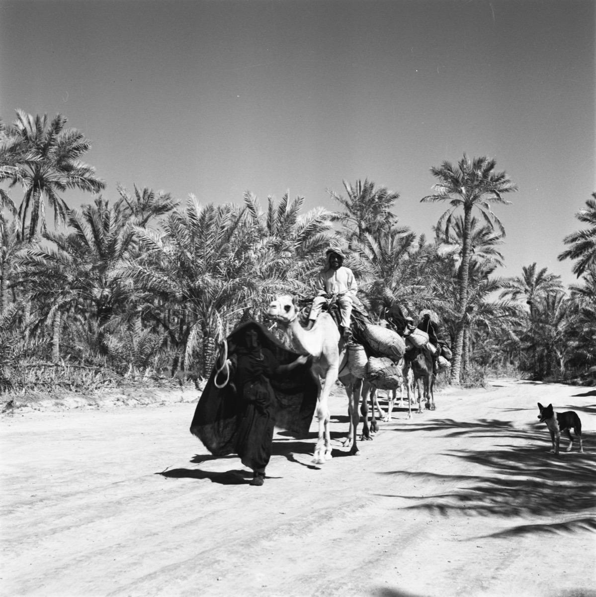 صورة جميلة لامرأة تقود الجمال عبر واحة في المنطقة الشرقية
