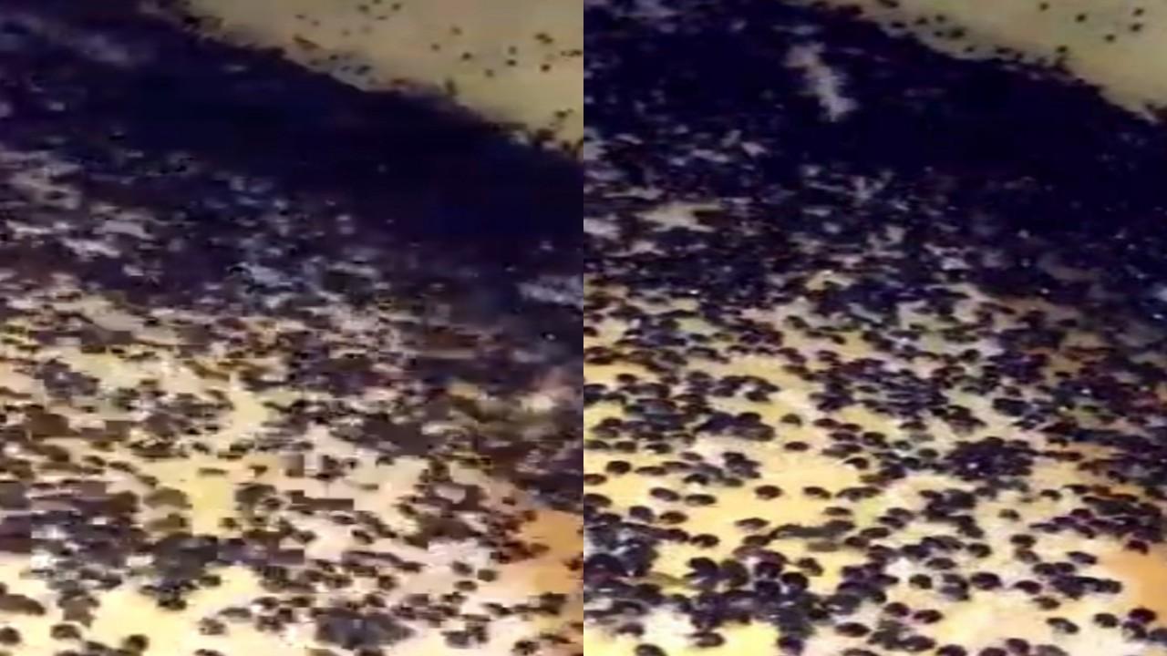 بالفيديو.. انتشار كميات كبيرة من الحشرات في إحدى قرى جازان