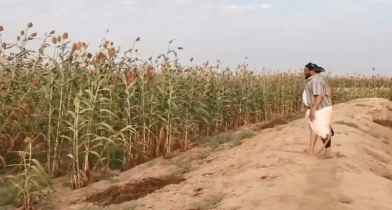 بالفيديو.. مزارع يحمي محصوله من الطيور المهاجرة بطريقة بدائية في جازان