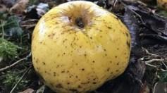 العثور على نوع جديد من التفاح لم يكتشف من قبل