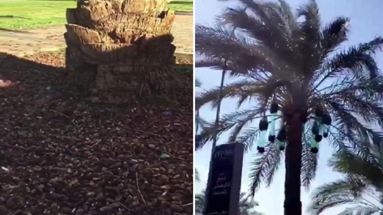 بالفيديو.. تمور النخيل في تبوك ثروة قومية مهدرة