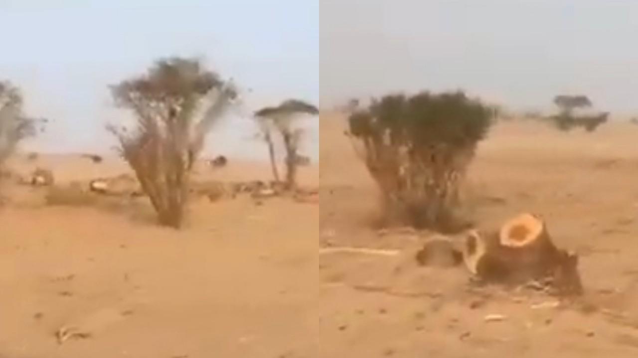 بالفيديو.. لحظة قطع عددا من الأشجار لإنتاج الحطب وبيعه في الأفلاج