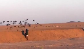 بالفيديو.. لحظة قيام أحد الأشخاص بالصيد الجائر لسرب طيور بالمملكة