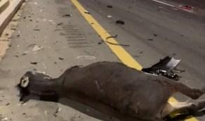 """بالفيديو.. سائق يصطدم بـ """"حمارين"""" في الباحة"""
