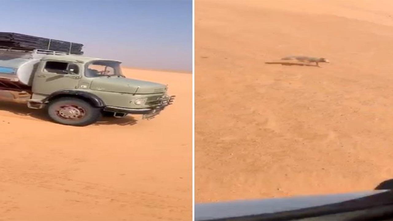 بالفيديو.. قائدا شاحنتين يطاردان ثعلب في الصحراء وأحدهما يدهسه عمداً