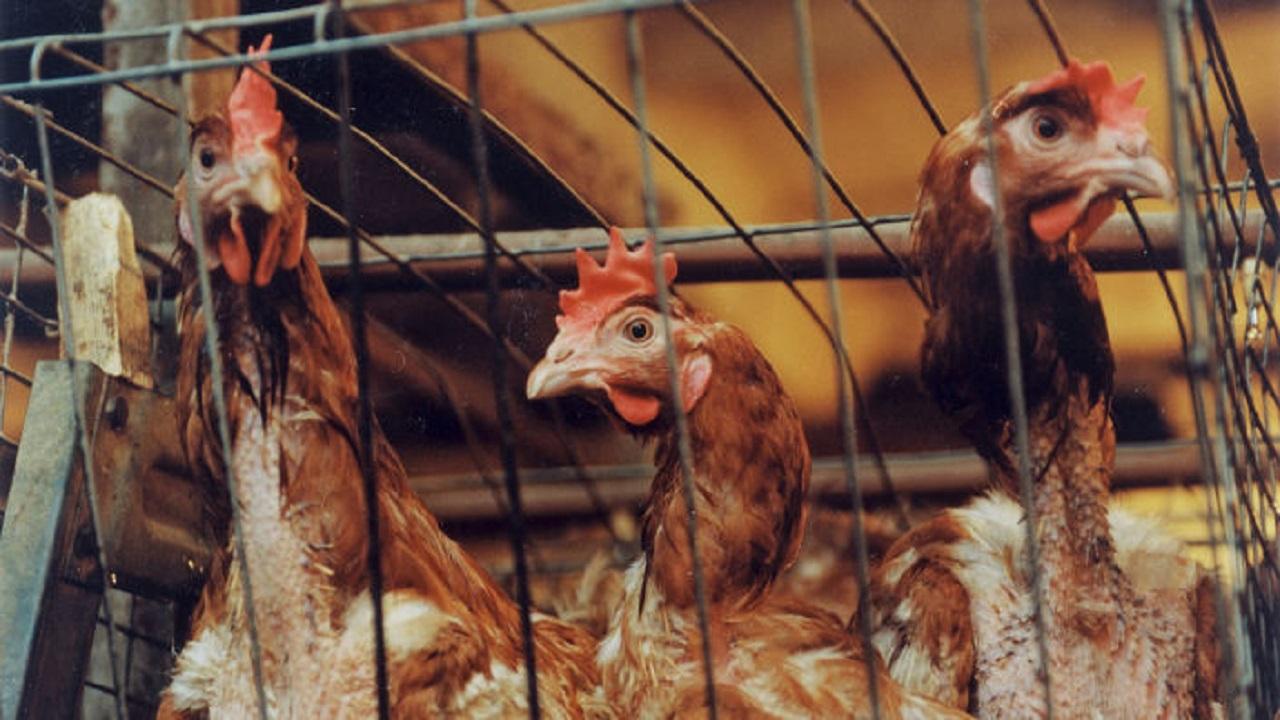 إعدام 140 ألف دجاجة في محافظة واحدة بسبب الأنفلونزا