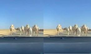 بالفيديو.. قطيع من الإبل يقطع إحدى الطرق الرئيسية