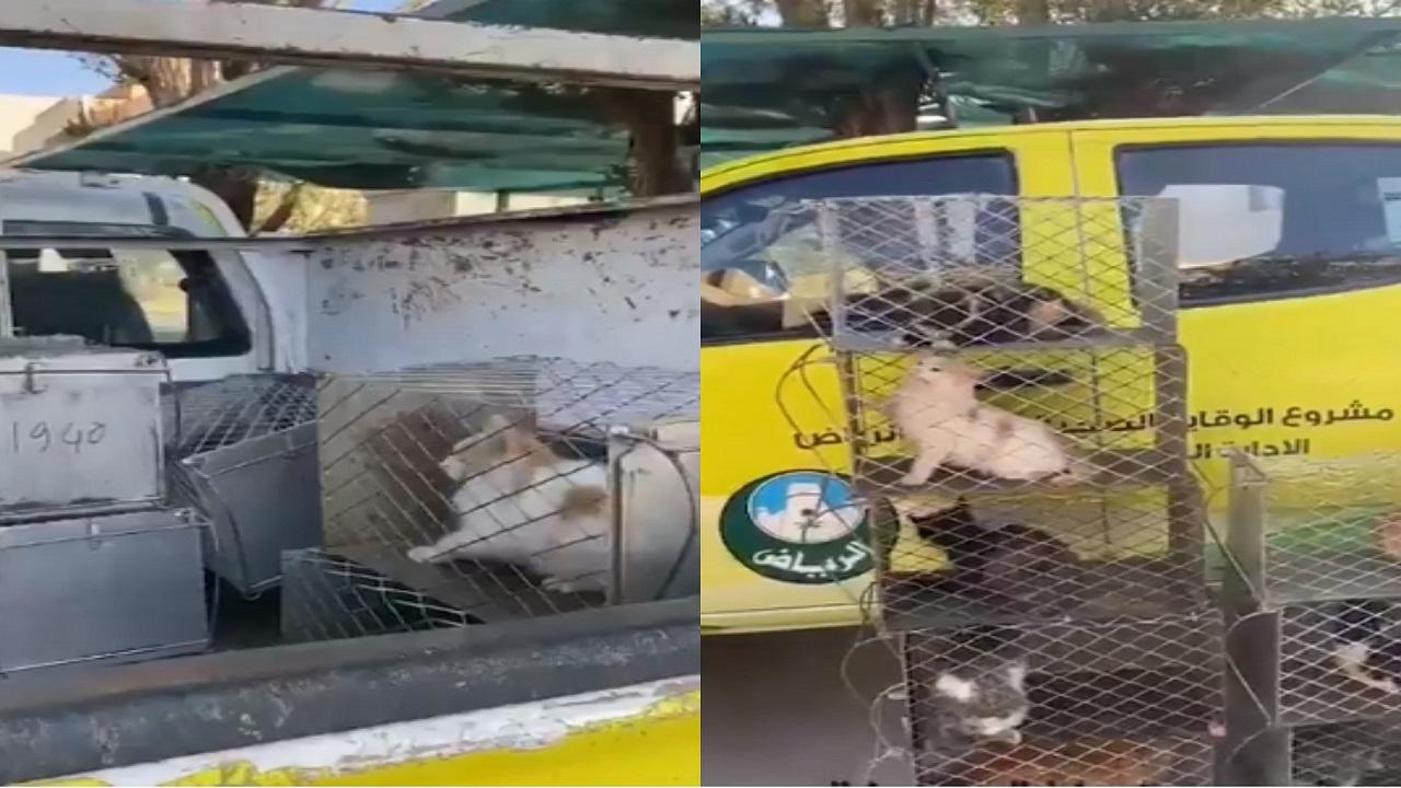 شاهد..عمال يجمعون قطط الشوارع للتخلص منهم في الرياض والأمانة تعلق