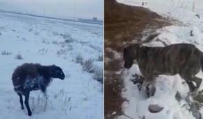 """بالفيديو.. """"المسند"""" يكشف حقيقة الحيوانات النافقة من شدة البرد والثلج"""