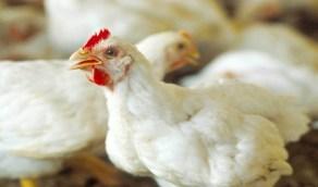 مدى تأثير إنفلونزا الطيور على أسعار الدواجن بالمملكة
