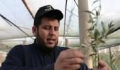 قصة مواطن زرعمليون شجرة زيتون في الجوفلإنتاج الزيت