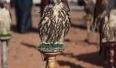 تأجيل مهرجان الصقور بمحافظة طريف