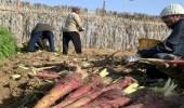 بالصور.. أسرة في الأحساء تروي قصتها في زراعة الجزر الحساوي والمنتجات الزراعية النادرة