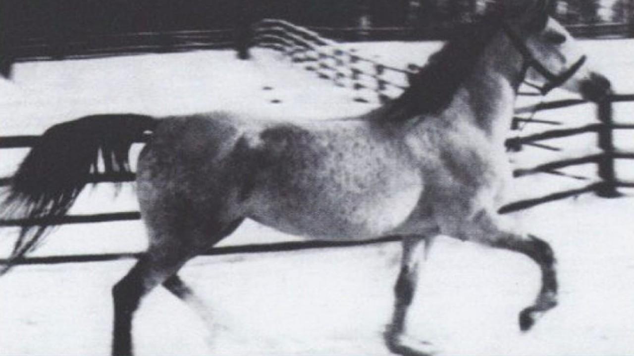 صورة تاريخية لـ«طرفة» إحدى خيول الملك عبدالعزيز أهداها لملك بريطانيا