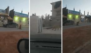 بالفيديو.. لحظة العثور على أسد تائه في أحد شوارع ليبيا