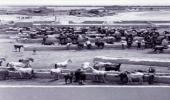 صورة تاريخية لإسطبل خيول الملك عبدالعزيز بالخرج