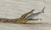 بالصور.. تمساح عملاق يبتلع سمكة قرش في لحظة نادرة