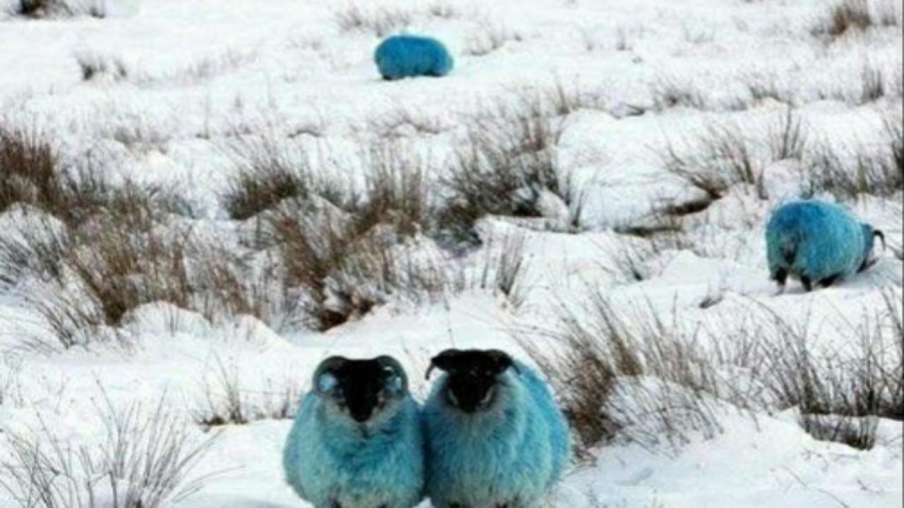 سبب صبغ الخراف في الشتاء بالمناطق الثلجية