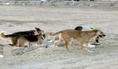 شاهد.. كلاب ضالة تهاجم شابا في تبوك وتصيبه بجروح عميقة