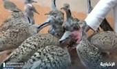 """بالفيديو.. شاب ينشئ محمية لـ """"طائر الحبارى"""" في شقراء"""