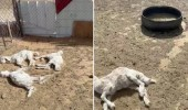 بالفيديو.. الكلاب الضالة تقتل أغنام بحظائر الرس ومخاوف على الأطفال والأهالي