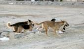 أمانة العاصمة المقدسة توضح طرق التعامل مع الكلاب الضالة