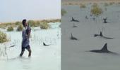 شاهد انقاذ عشرات الدلافين في املج بعد ان علقت في شاطئ رأس الشبعان بسبب الرياح