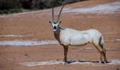 الهيئة الملكية لمحافظة العُلا تُطلق المجموعة الثالثة من الحيوانات الفطرية