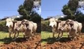 """بالفيديو.. مزارع يحرث أرضه بـ """"الثيران"""" في النماص"""