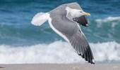 «الحياة الفطرية»: يمنع عمل مصيدة جماعية لصيد طيور النورس (صورة)