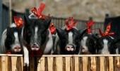 انتشار حمى الخنازير في الصين