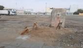 كلاب ضالة تسرق مبلغ مالي من عامل في العارضة