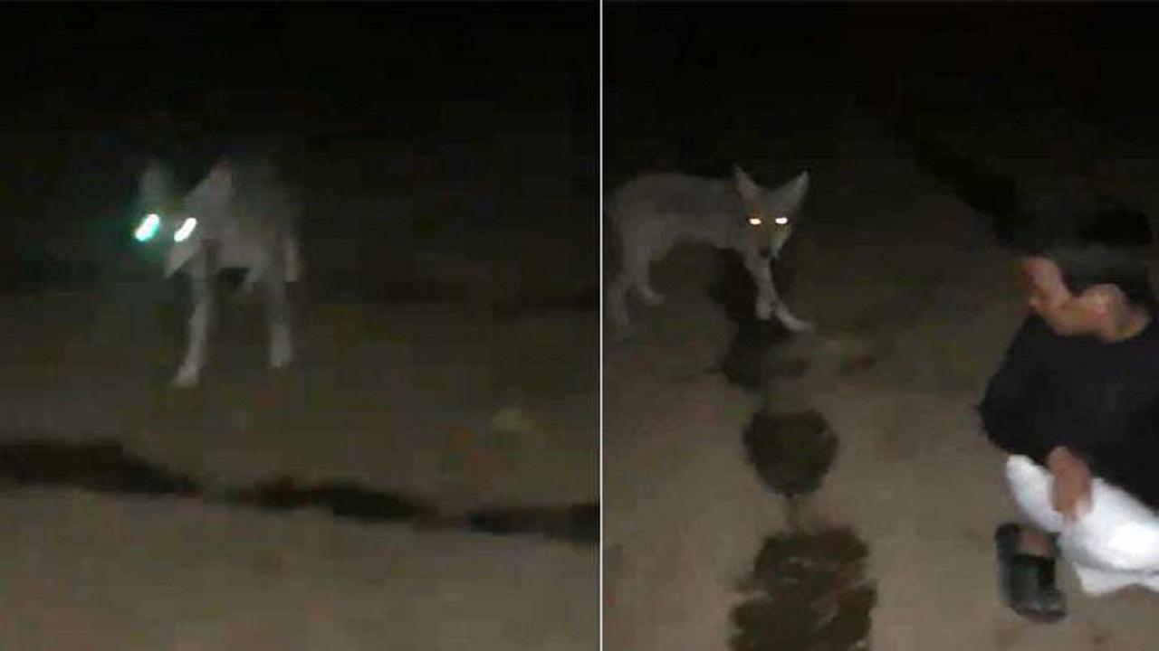 شاهد.. مواطن يوثق تجول ذئب داخل مزرعته في الطائف