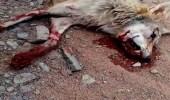 بالفيديو.. مواطن يقتل ذئبًا هاجمه وابنه بالمدينة المنورة