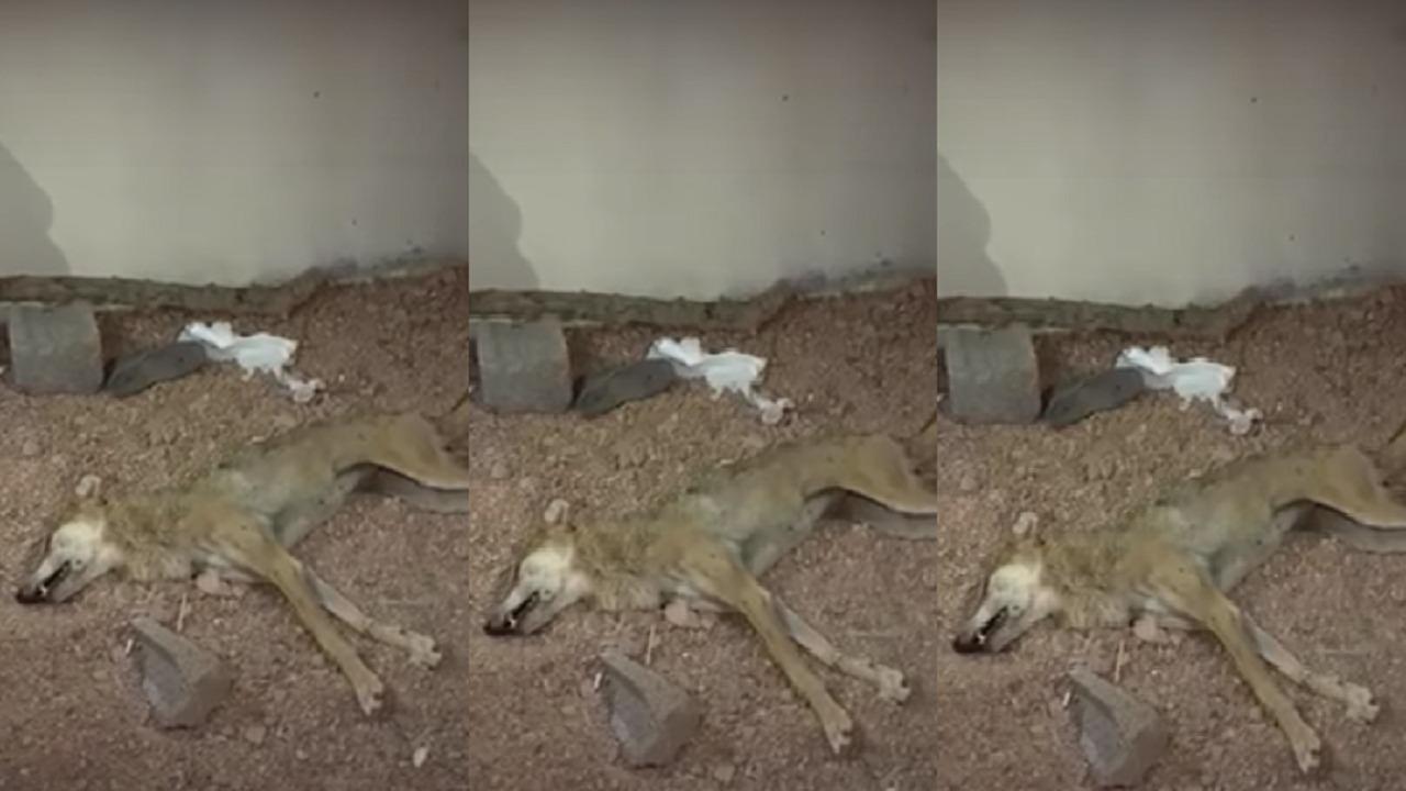 بالفيديو.. إصابة امرأة وطفل إثر هجوم ذئب عليهما في تبوك