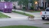 بالفيديو.. نمر يتجول في أحد الشوارع
