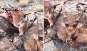 بالفيديو.. صيد جائر لعدد من الوعول الجبلية المهددة بالانقراض في محايل
