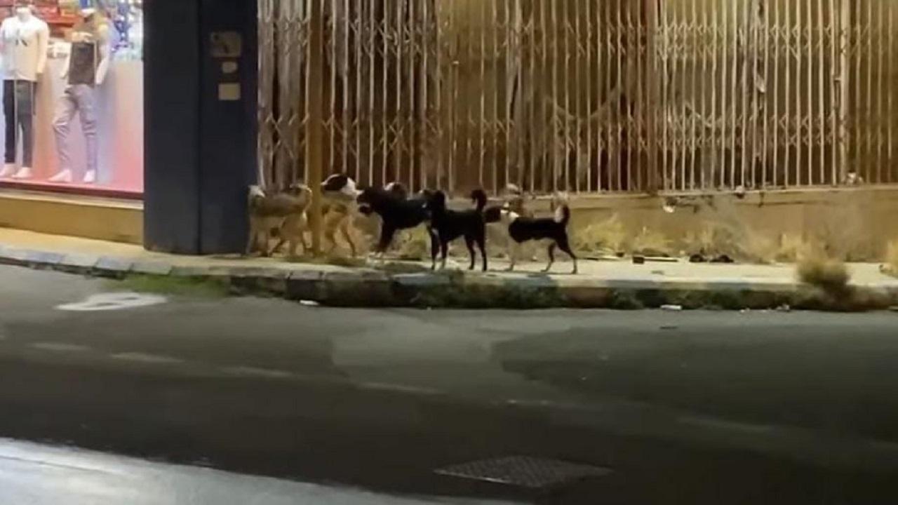 انتشار الكلاب الضالة والقرود يثير ذعر الأهالي في أحياء الطائف